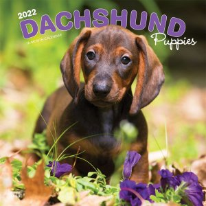 BrownTrout ダックスフンド【パピー】カレンダー Dachshund Puppies