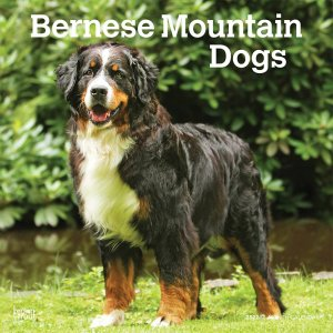 BrownTrout バーニーズマウンテンドッグ カレンダー Bernese Mountain Dogs