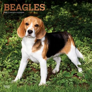 BrownTrout ビーグル カレンダー Beagles
