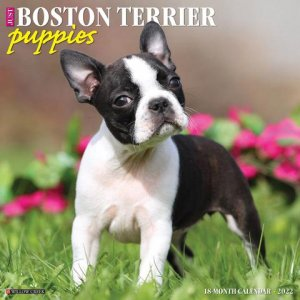 WillowCreek ボストンテリア【パピー】 カレンダー JUST Boston terrier puppies