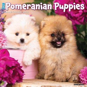 WillowCreek ポメラニアン【パピー】 カレンダー JUST Pomeranian puppies