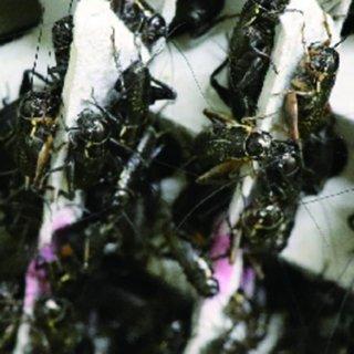 活餌 クロコオロギ MS 20匹