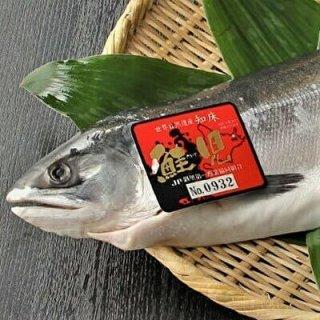 【予約販売】 純粋知床産 幻の鮭 鮭児(ケイジ)生冷凍半身 800g〜890g