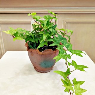 ▼観葉植物 インテリアグリーン ヘデラ ヘリックス(アイビー)