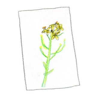 ポストカード(菜の花)