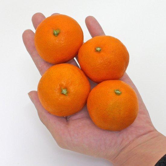 ピッコロみかん 2.5kg 小粒サイズ(12月上旬以降出荷予定)