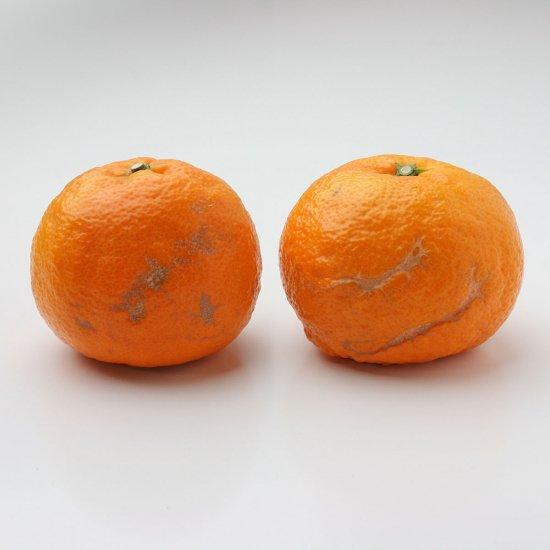 カラオレンジ ワケアリ S〜3Lサイズ 4.5kg(4/15以降出荷予定)