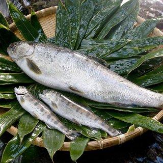 紅姫あまご(鮮魚)小型